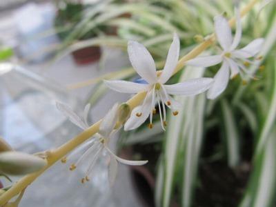 オリズルランの花.jpg