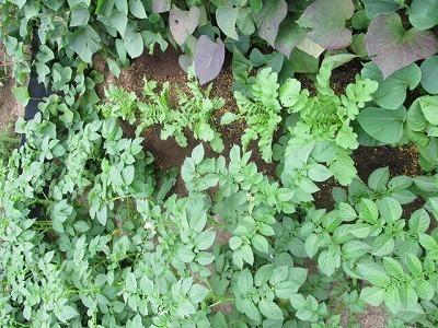 大根とジャガイモの花.jpg