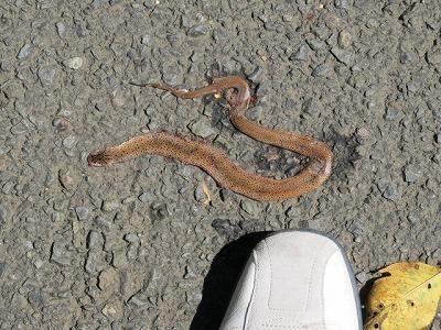 轢かれたヘビ.jpg